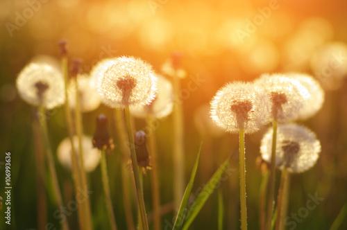 Zdjęcia na płótnie, fototapety na wymiar, obrazy na ścianę : dandelions in the sun
