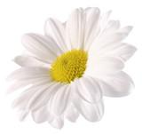 Fototapety daisy isolated on the white background