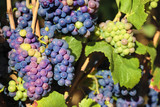 Red wine grapes burgundy vineyard france closeup