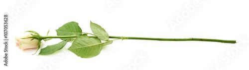 Zdjęcia na płótnie, fototapety, obrazy : Single white rose isolated