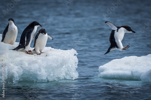 Fotobehang Antarctica Adelie penguin jumping between two ice floes