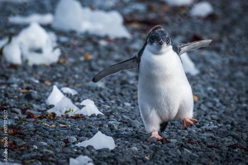 Papiers peints Antarctique Funny adelie penguin chick running on stones