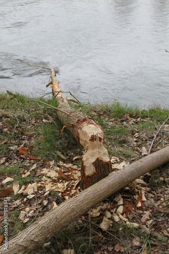 Bieber fällt Bäume durch Abnagen des Baumstammes Poster