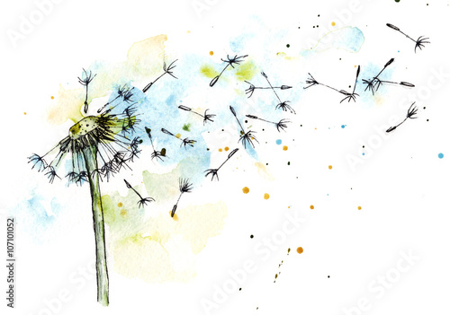 Dandelion watercolor botanical illustration © khalaziy