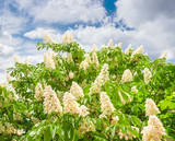 Blooming horse-chestnuts against the sky with clouds