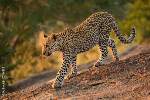 Leopard cub walking down the rocks in the early morning light