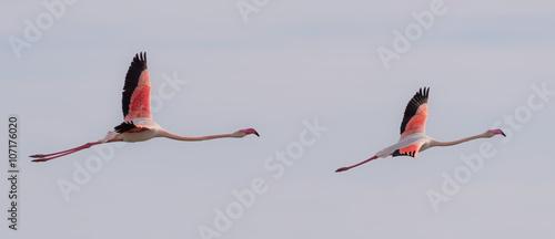 Fototapeta Two flamingos flying together