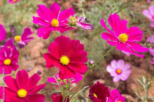Plexiglas Roze Cosmos flowers in the outdoor garden