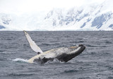 Humpback whale breaching in the cloudy day, with snowy mountains in background, Antarctic Peninsula