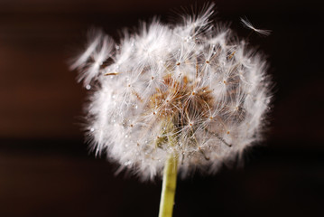 closeup of dandelion with water drops