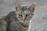 Gato pardo