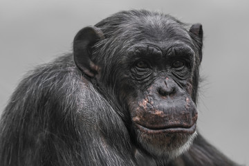 Thinking chimpanzee portrait close up © neurobite