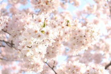 Japanese cherry blossom full bloom in blue sky