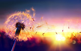 Fototapeta Dmuchawce - Dandelion To Sunset - Freedom to Wish