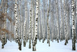 WInter birch grove with covered snow trunks