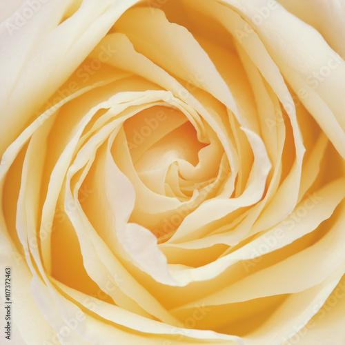 Fototapeta White Rose Flower Petals