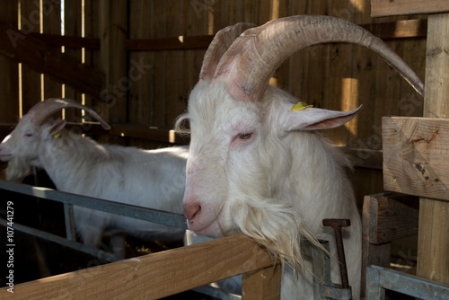 Poster Goat in the farm house, beautiful billygoat