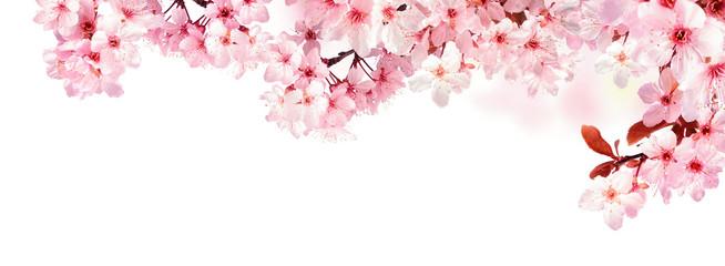 Verträumte Kirschblüten als Bordüre auf weißem Hintergrund © Smileus