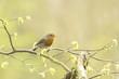 Robin redbreast bird singing