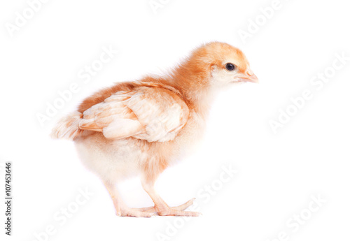 One small yellow chicken on white background Poster