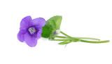 Violette - 107457807
