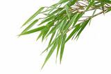 Feuillage de bambous