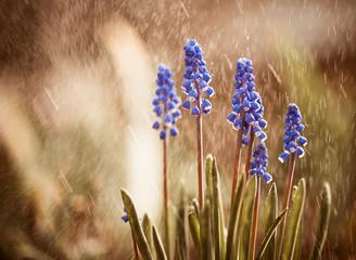 blue spring flowers under rain