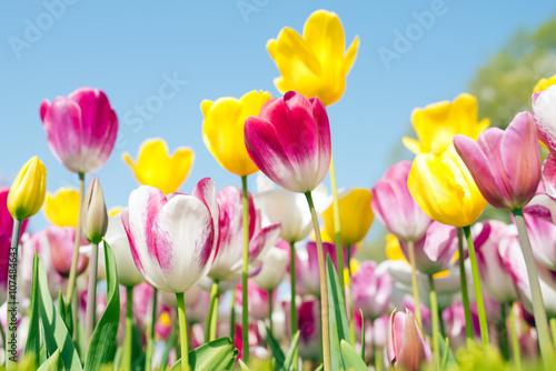 Tulip festival in Istanbul Poster