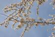 Obrazy na płótnie, fototapety, zdjęcia, fotoobrazy drukowane : Wildpflaumen, Blüten