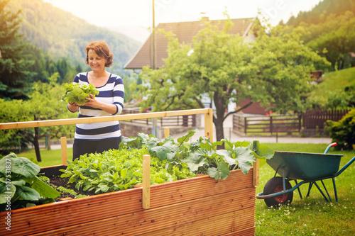 frau erntet salat vom eigenen hochbeet gardening 19 stockfotos und lizenzfreie bilder auf. Black Bedroom Furniture Sets. Home Design Ideas