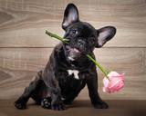 Zabawny pies z kwiatem w ustach. Buldog francuski. Tło drewna. Kwiat róży różowy
