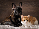 Fototapety Dog and cat together on white, knitted rug. Cute, cute animals. Snouts large. Background wood. Dog Bulldog, thoroughbred, black. Cat small, white with red