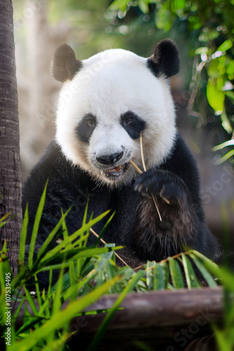 Fotobehang Panda portrait of nice panda bear eating in summer environment