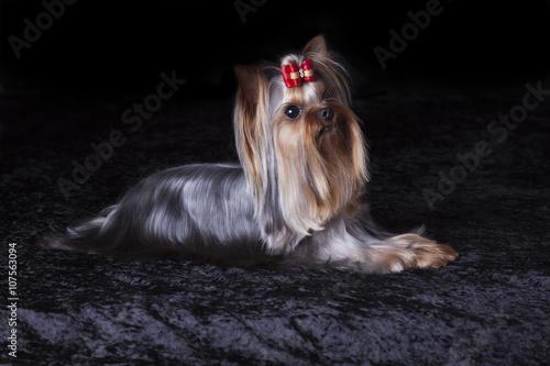 Poster Cute Alert Yorkshire Terrier Lies on Black Blanket