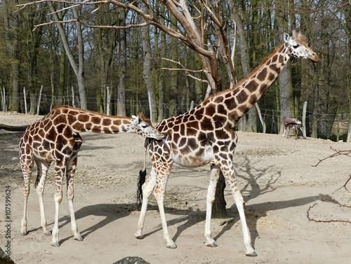 Fototapeta life in zoo