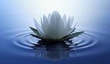 Fototapety Lotusblüte in dunklem Wasser 3