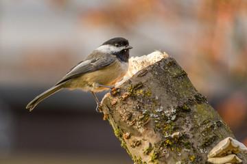 Carolina Chickadee on a perch in spring