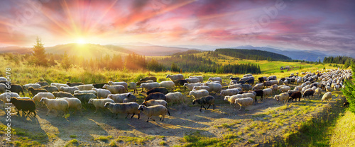 Poster Heuvel Sheep graze in the Carpathians