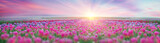 Fototapety Field of tulips in Chernivtsi