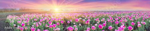 Fotobehang Tulpen Field of tulips in Chernivtsi
