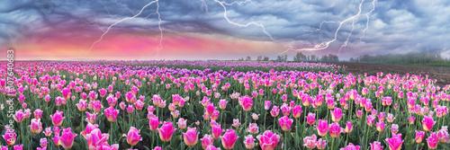 Plagát, Obraz Field of tulips in Chernivtsi