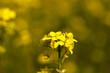 Obrazy na płótnie, fototapety, zdjęcia, fotoobrazy drukowane : flowering canola. spring
