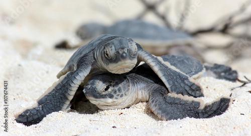 Foto Spatwand Schildpad SB bébés tortues marines