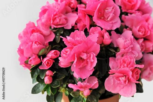 pink azalea on white background close-up isolated