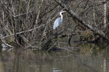 Gray heron perching on bare tree over lake