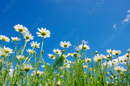 white daisies on blue sky Poster