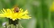 Obrazy na płótnie, fototapety, zdjęcia, fotoobrazy drukowane : 4k di ape che fa il bagno nel polline
