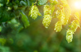 Green hop cones - 107788076