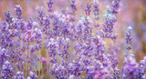 Lavender bushes closeup with bokeh effect. Purple flowers of lavender as banner or flowers background. Provence region of France - lavender fields and perfume oil.