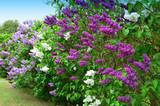Syringa vulgaris springtime flowering plant - flowerl 70277127,Altes Rathaus